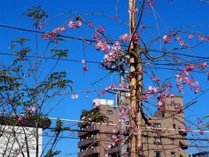 Sakura2014-01